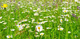 Natural meadow with marguerites in spring. Green meadow in spring with marquerites and herbs Stock Photo