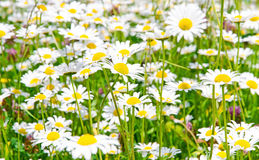 Natural meadow with marguerites in spring. Green meadow in spring with marquerites and herbs Royalty Free Stock Photo