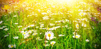 Natural meadow with marguerites in the sun. Green meadow in spring with marquerites and herbs in the sun Stock Image