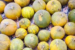 Natural melons. The large round fruit of a plant of the gourd family, with sweet pulpy flesh and many seeds Stock Photo