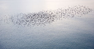 Natural migration of European starlings Stock Images