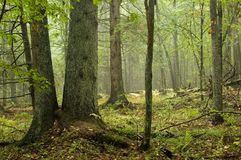 Natural mixed forest. After rain,autumn Royalty Free Stock Image