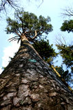 Natural Monument. Pine tree - a natural monument protected by law stock image