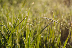 Natural morning dew on grass at sunrise Stock Photo