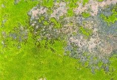 Natural moss texture Stock Photography