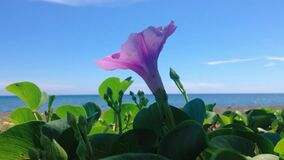 Natural Motion Blooming Purple Flower Creeping Vine Plants Of Ipomoea Pes-caprae Or Bayhops Blown By The Wind