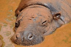 Natural mud bath. Hippopotamus soaking in the mud Royalty Free Stock Image