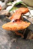 Natural Mushrooms Royalty Free Stock Photography