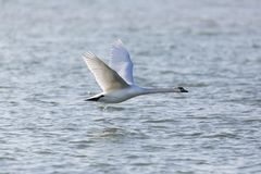 Natural mute swan bird cygnus olor flying over blue water sur royalty free stock photography
