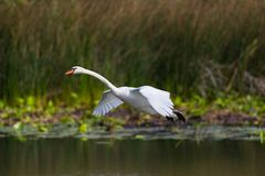 Mute swan bird cygnus olor flying over water, spread wings, re. Natural mute swan bird cygnus olor flying over water, spread wings, reed Stock Photography