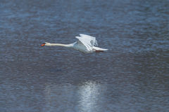 Natural mute swan cygnus olor during flight over water surface Royalty Free Stock Images
