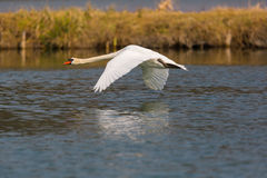 Natural mute swan cygnus olor during flight over water surface Stock Photos