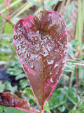 Natural nature raindrop dew on leaf. Wet English morning rain on leaf no filter Royalty Free Stock Images