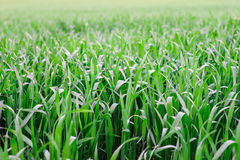 Natural new green grass texture new playground Stock Photo