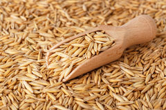 Natural oat grains with husk Royalty Free Stock Photography