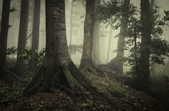 Natural old forest with fog Royalty Free Stock Photos