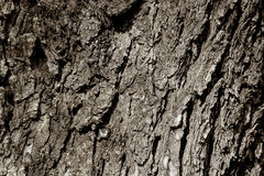 Natural old tree texture Royalty Free Stock Photo