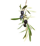 Natural Olive branch with black olives and  leaves  isolated on white background Stock Photo