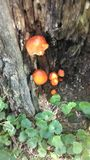 Natural orange tree mushrooms Stock Photography