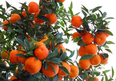 Natural oranges on white. Natural oranges on tree, illustration of biological agriculture royalty free stock image