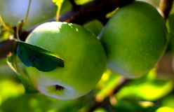 Natural organic farm colorful green apples on tree branch
