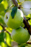 Natural organic farm colorful green apples on tree branch Stock Image