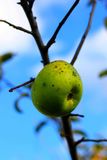 Natural organic farm colorful green apples on winter tree branch Stock Photography