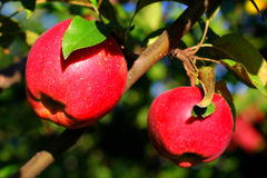 Natural organic farm colorful two red apples on tree branch Stock Image