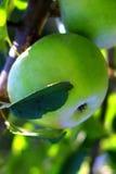 Natural organic farm green apples  close up on tree Stock Photo