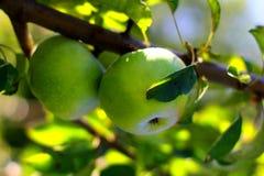 Natural organic farm green apples on tree branch Stock Image