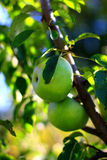 Natural organic farm green apples on tree branch Royalty Free Stock Images