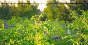 Natural organic food. The Bush tomatoes in the rustic greenhouse Stock Photography