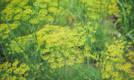 Natural organic spices. Green dill in the garden Royalty Free Stock Photo