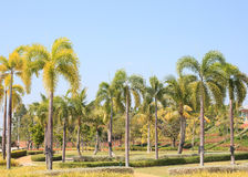 Natural palm tree park against clear blue sky background Stock Image