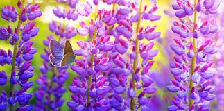Natural panoramic background with beautiful butterfly pigeon sitting in summer garden on bright lilac , purple and pink lupine royalty free stock photos