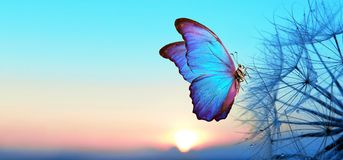 Natural pastel background. Morpho butterfly and dandelion. Seeds of a dandelion flower in droplets of dew on a background of sunri