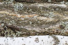 Exclusive unique natural terrain. Damaged birch bark with deep longitudinal cracks and bare wood covered with lichen and moss. royalty free stock photo