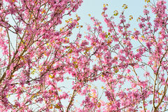 Natural pattern of flowers Judas tree Stock Images