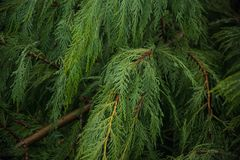 Natural pattern of pine brunch Stock Photography