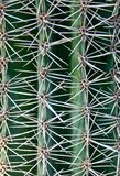 Natural pattern of thorns cactus plants Royalty Free Stock Photos