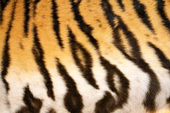 Natural pattern of tiger fur Stock Images