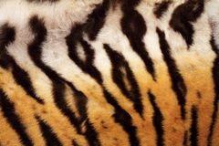 Natural pattern on tiger fur Royalty Free Stock Photos