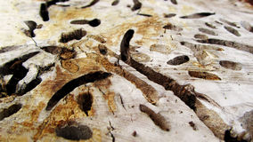 Natural patterns on wood Royalty Free Stock Image