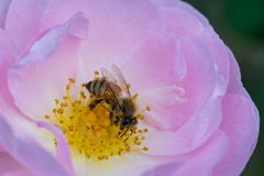 Bee pollinates pink rose stock image