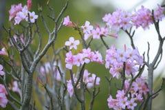 Natural photo close up pink desert rose petal with shallow dept Stock Photos
