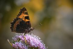 Natural photo of orange butterfly. Natural photo of dark orange butterfly royalty free stock photo