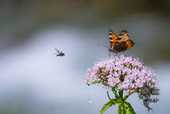 Natural photo of orange butterfly and fly. Natural photo of dark orange butterfly stock image