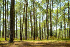 Natural Pine Forest. Royalty Free Stock Photo
