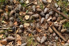 Natural pine forest ground with cones and twigs Stock Photo