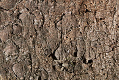 Natural pine tree bark pattern. Royalty Free Stock Photo